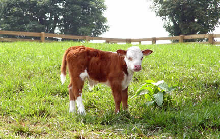 Baby Cow (Small)